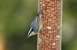 Red-breasted Nuthatch on Peanut Feeder